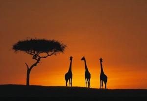 Giraffes savannah sunset